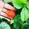 【ベランダ菜園】今年のベランダ菜園4月~6月 コンポスト肥料&バーチカルガーデンで【イチゴ・えんどう・トマト・きゅうり等】